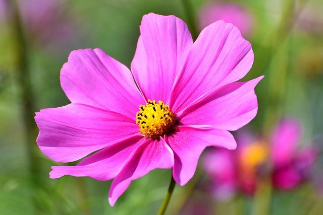 Il significato del fiore di cosmea nel linguaggio dei fiori
