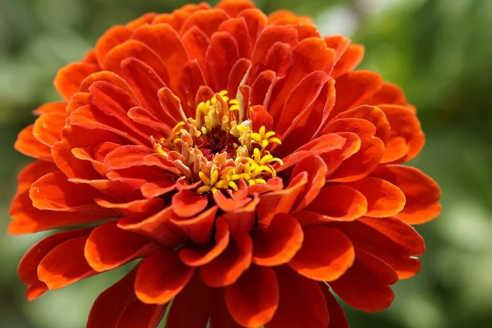 Zinnia arancione