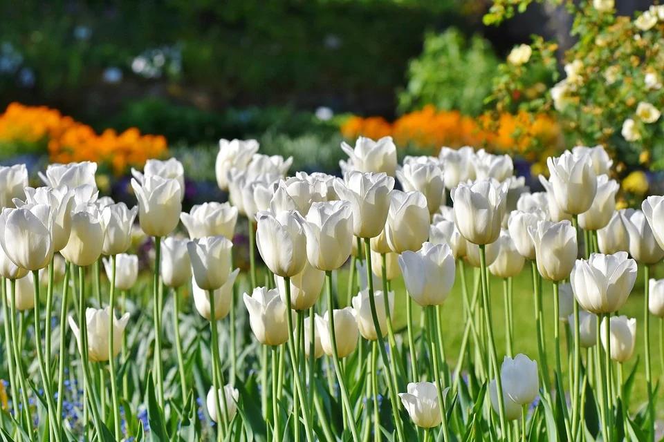 Il significato del tulipano nel linguaggio dei fiori