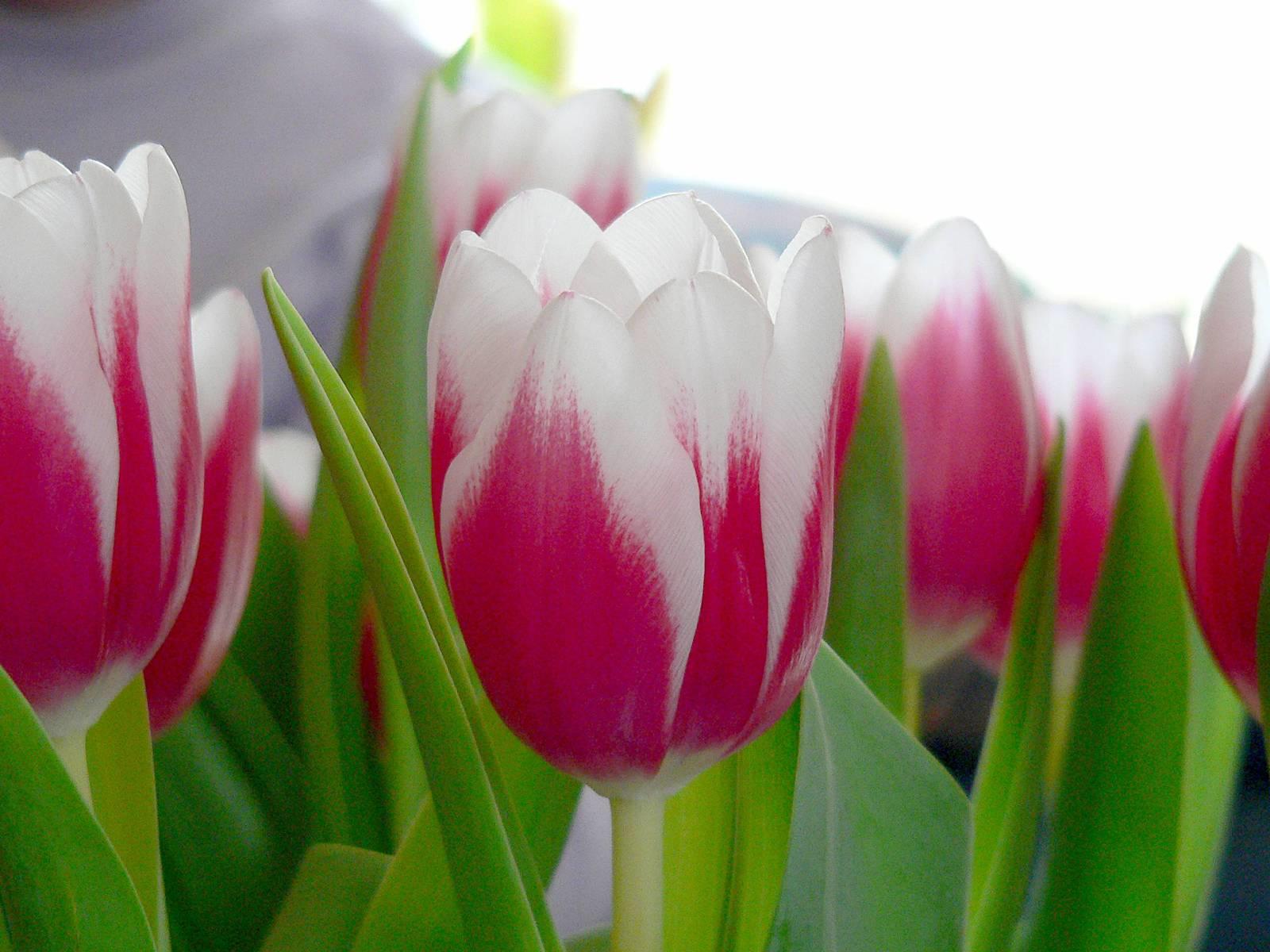La tulipomania fu solo olandese?