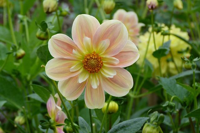 Il significato del fiore di dalia nel linguaggio dei fiori