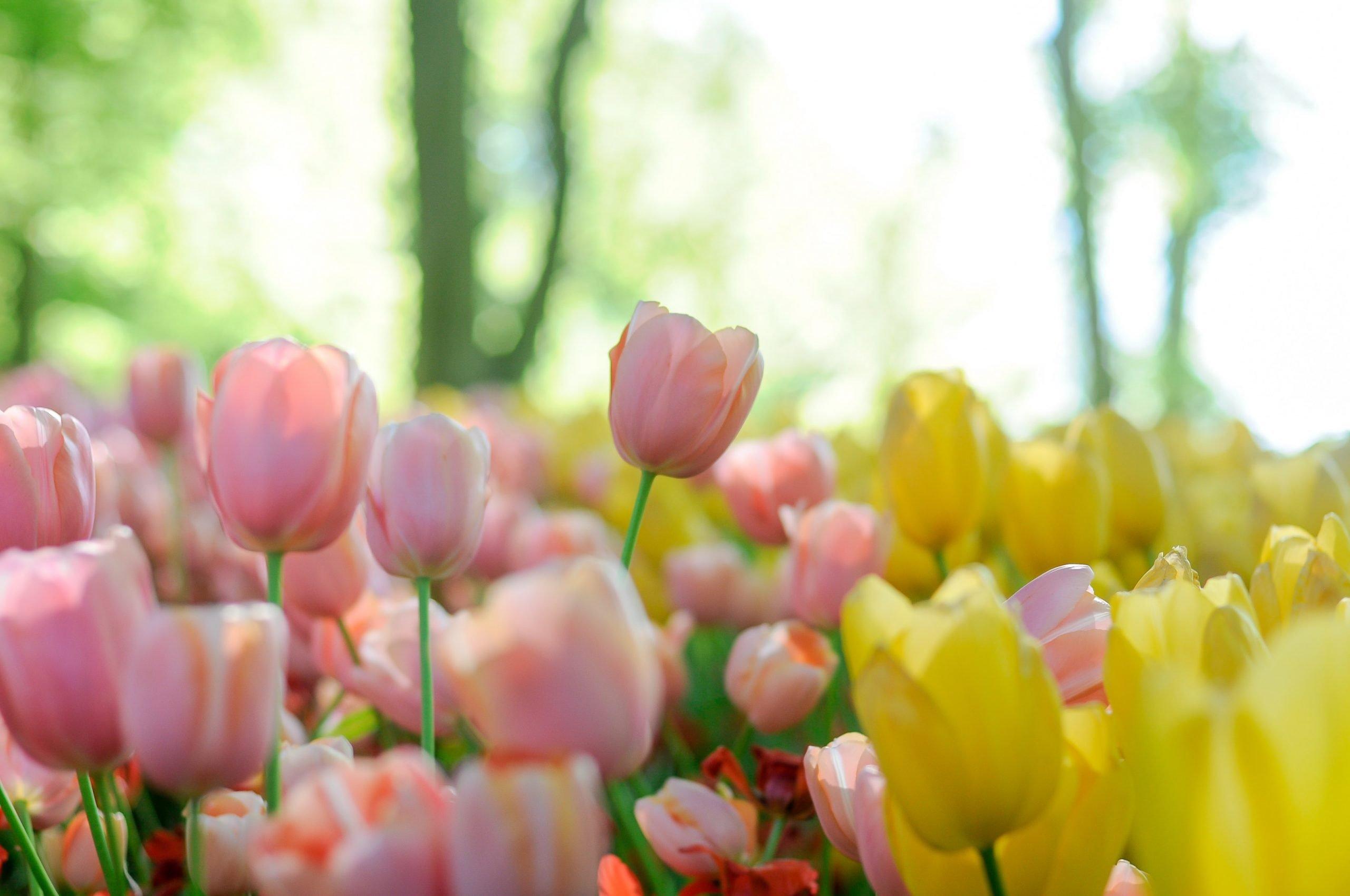 Come piantare e curare i bulbi di tulipano