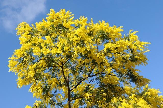 albero di mimosa per esempio